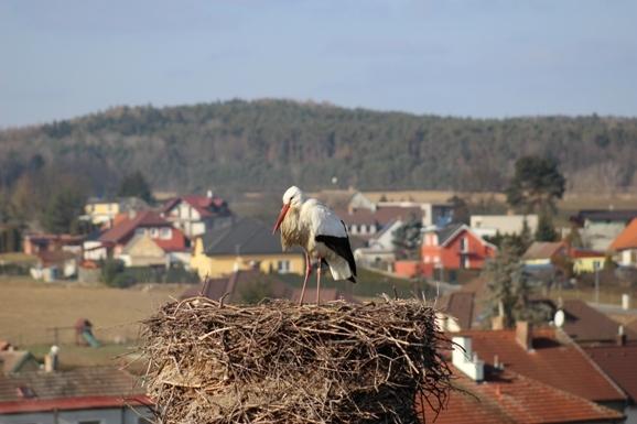 """""""Dubenský"""" čáp přiletěl v sobotu 18. 2. 2017. Známe už i jeho pravé jméno: V Německu mu hned po vylíhnutí začali říkat Max."""